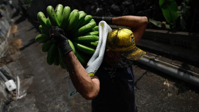 Un agricultor lleno de ceniza recoge una piña de plátanos antes de que la lava del volcán de Cumbre Vieja llegue a las plantaciones, a 23 de septiembre de 2021, en Tazacorte, La Palma.