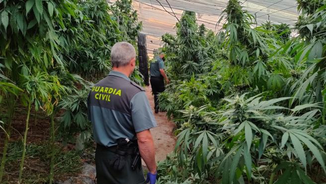 Sucesos.- Incautadas 9.700 plantas de cannabis sativa en un invernadero de Sorvilán