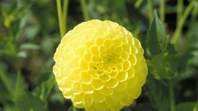 Imagen de la flor de una variedad de dalia.Gelbe Pompondahlie.