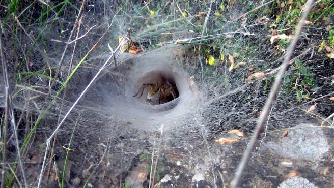 Una araña construye su telaraña.