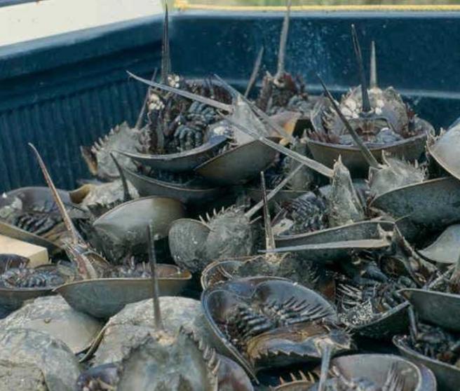 Cangrejos de herradura recogidos para cebo en la Bahía de Delaware, EE.UU.