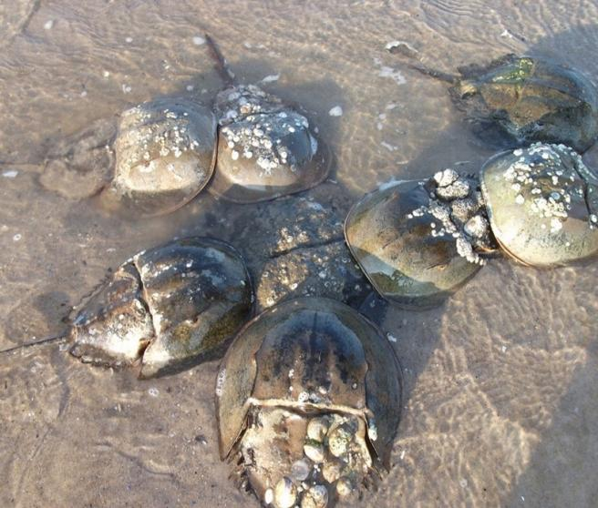 Desove de cangrejos de herradura en Plumb Beach, Bahía de Jamaica, Nueva York