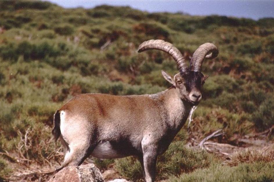 El bucardo es una subespecie de cabra montés que fue declarada extinta en el 2000 por la UICN.