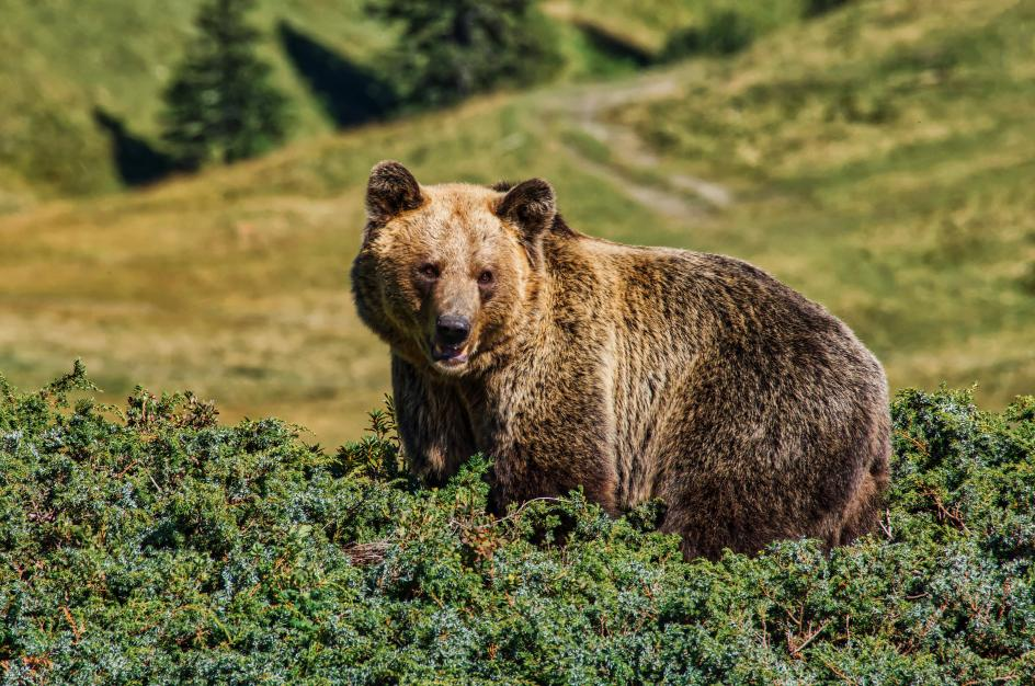 El cambio climático desafía la conservación del oso pardo en la Cordillera Cantábrica al dificultar la hibernación. Por eso, este proyecto se enfocará en disponer de recursos suficientes con la plantación de castaños, árboles y arbustos frutales, así como la compra de tierras y acuerdos con los propietarios para su cultivo. Y se llevarán a cabo campañas de información.