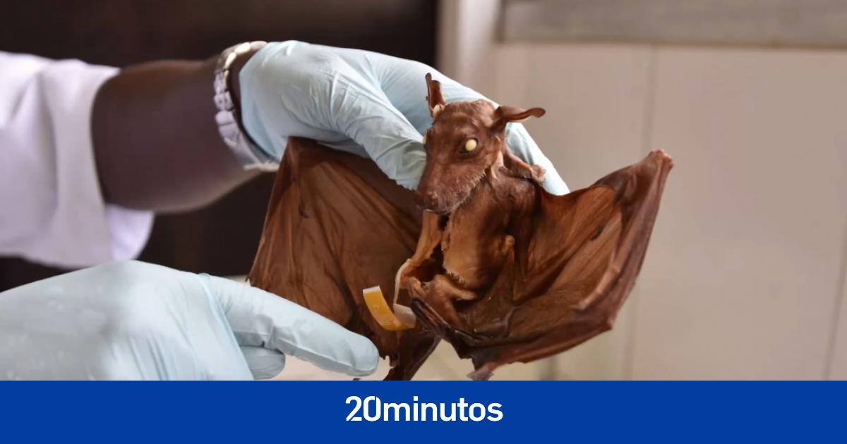Image Detectan un nuevo coronavirus relacionado con el que causa la covid-19 en murciélagos de Reino Unido