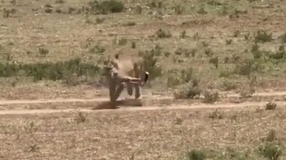 El almuerzo de un guepardo que se indigestó antes de comerlo