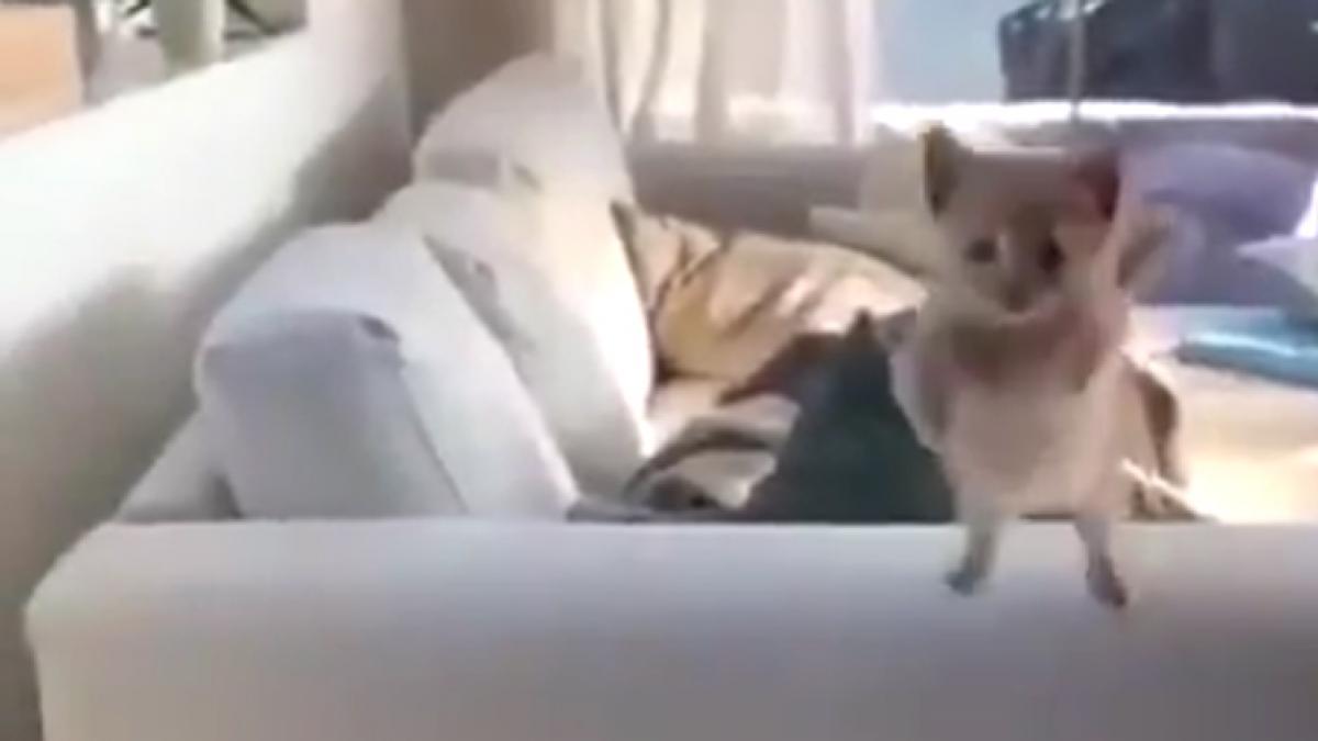 Un gatito intenta alcanzar su sueño y falla estrepitosamente