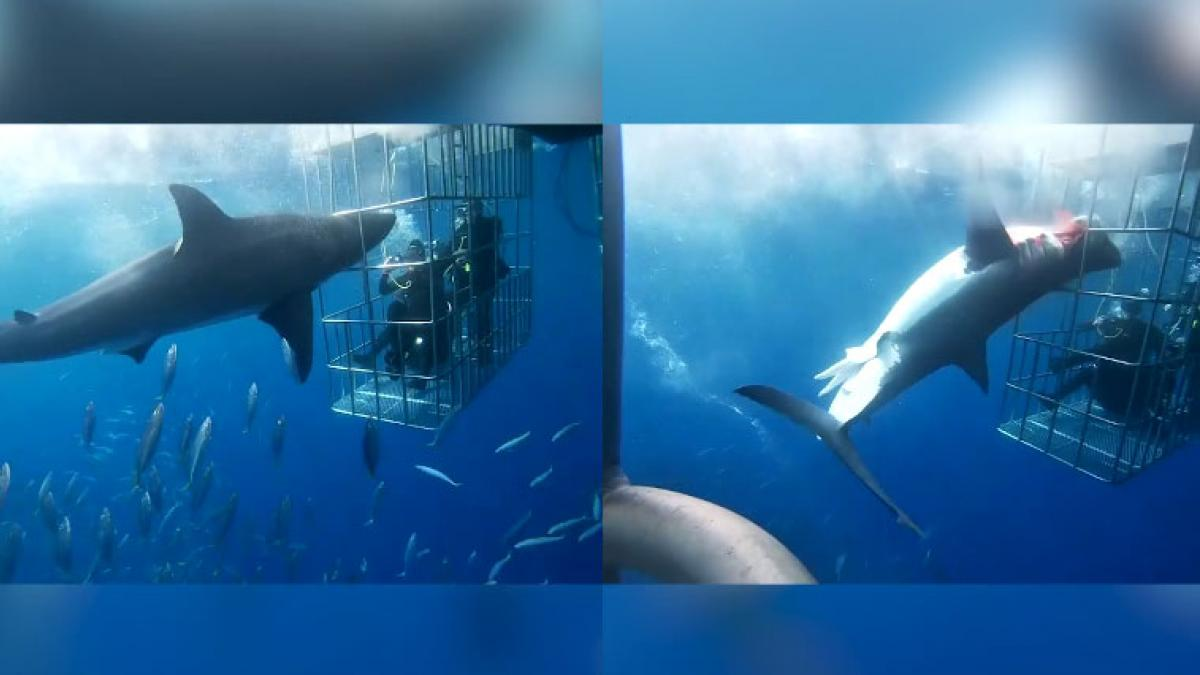 Muere un tiburón blanco al quedarse atrapado en una jaula de observación para turistas