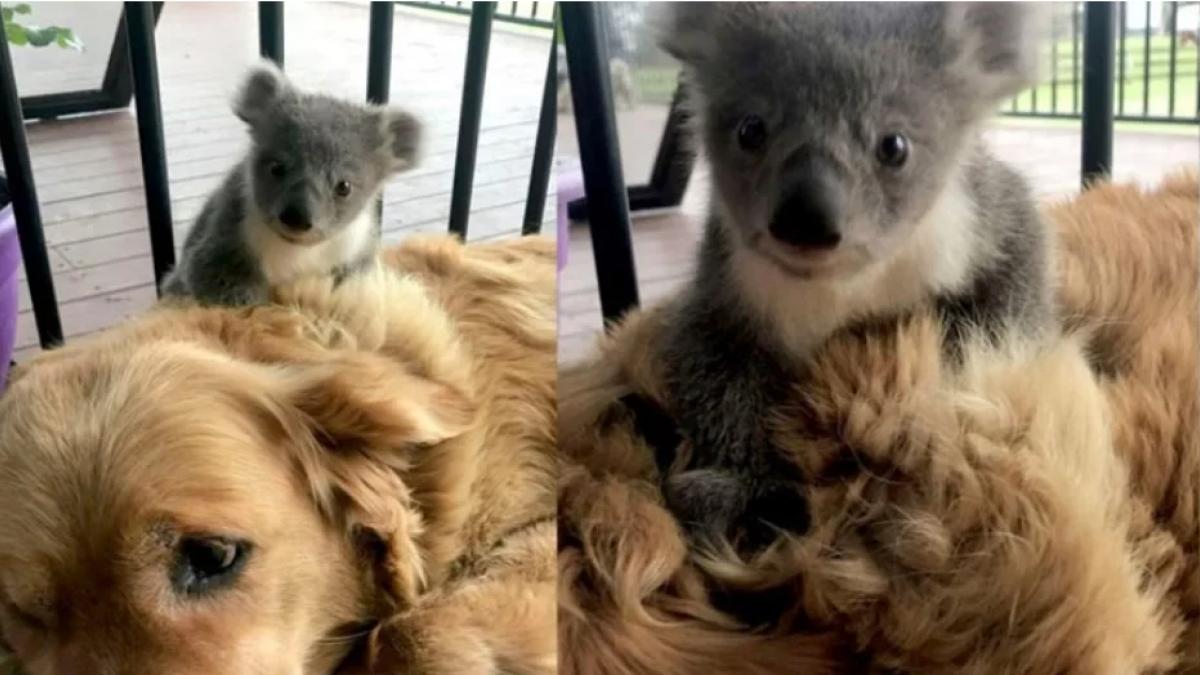 Asha-la-perrita-que-ha-salvado-la-vida-de-una-cria-de-koala-en-australia