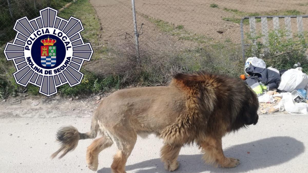 Vecinos alertan de la presencia de un león suelto en Murcia y la Policía aclara que es un perro