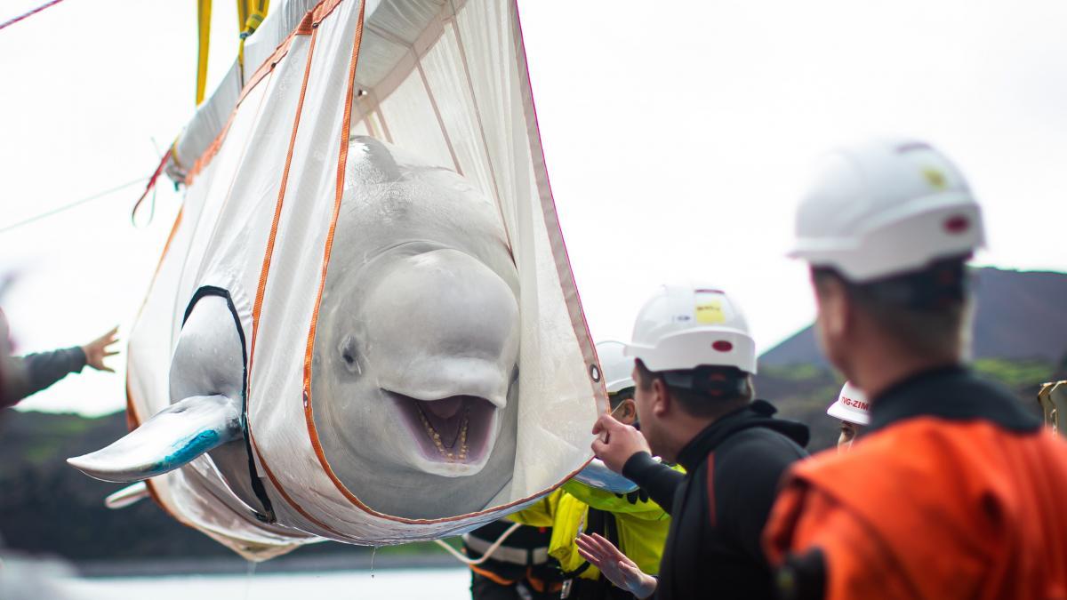 Unas ballenas belugas sonríen al ser liberadas a un espacio natural abierto tras años de cautiverio