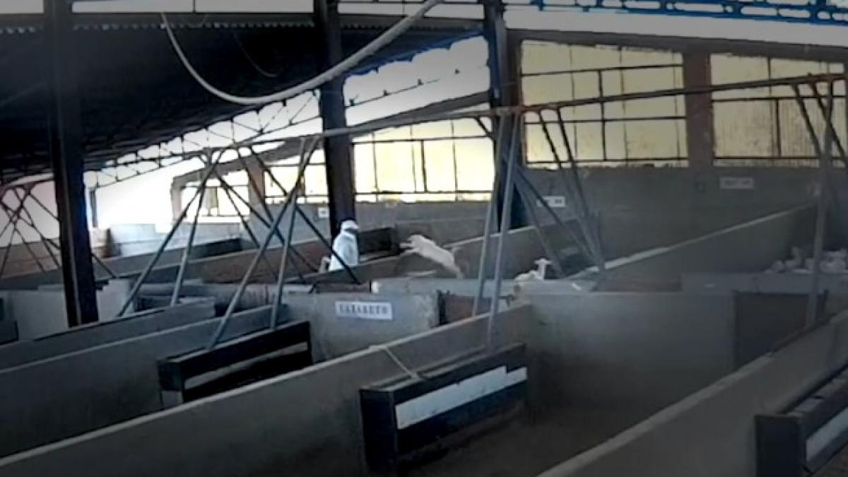 Golpes, patadas y poca higiene: graban con cámara oculta un grave maltrato animal en un matadero de Toledo