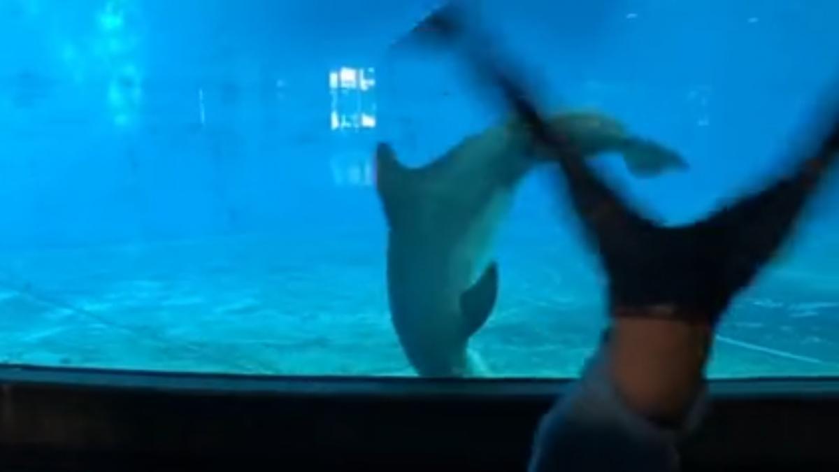 Delfin-voltereta