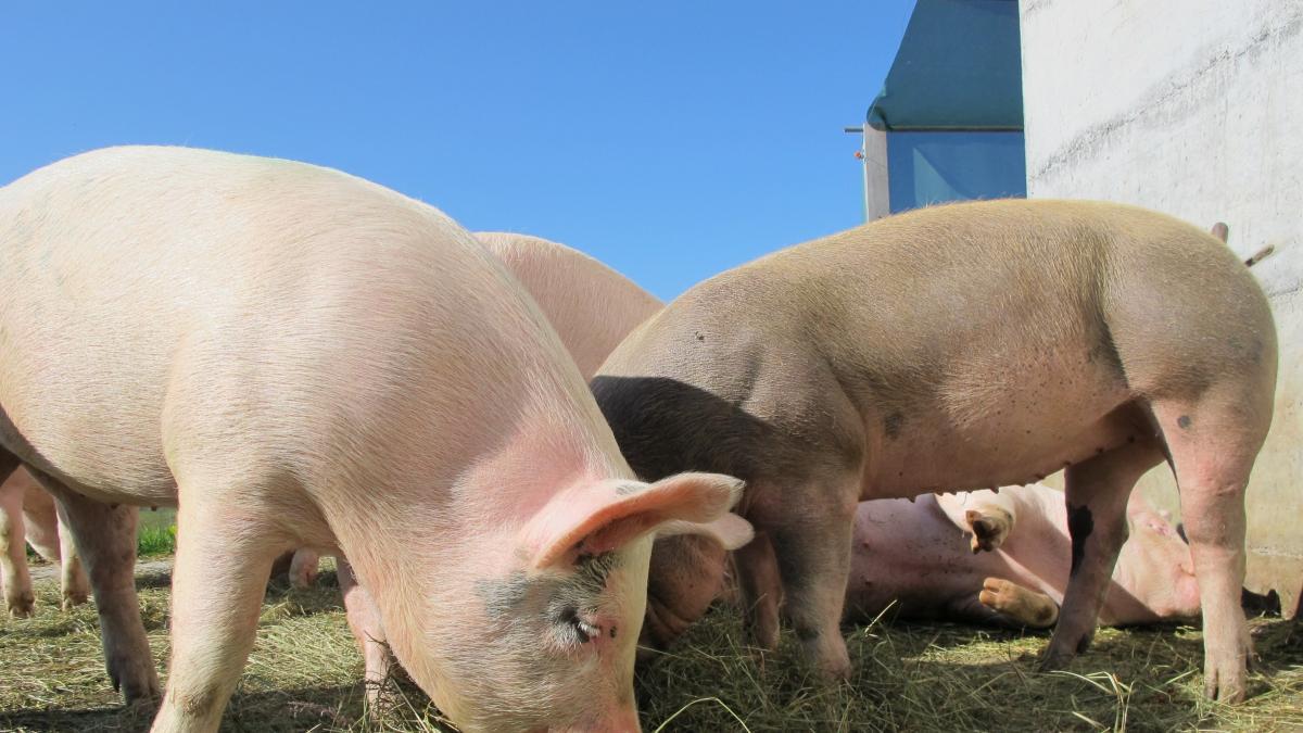'Stop Macrogranjas' pide apoyo a Diputación Ciudad Real para evitar instalación de explotaciones porcinas no sostenibles