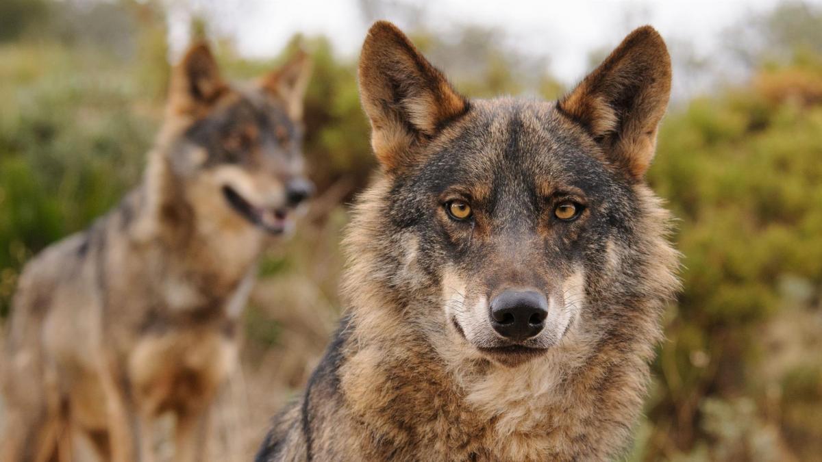 CCAA, ganaderos y cazadores, contra la inclusión del lobo ibérico en el  Listado de Especies de Protección Especial