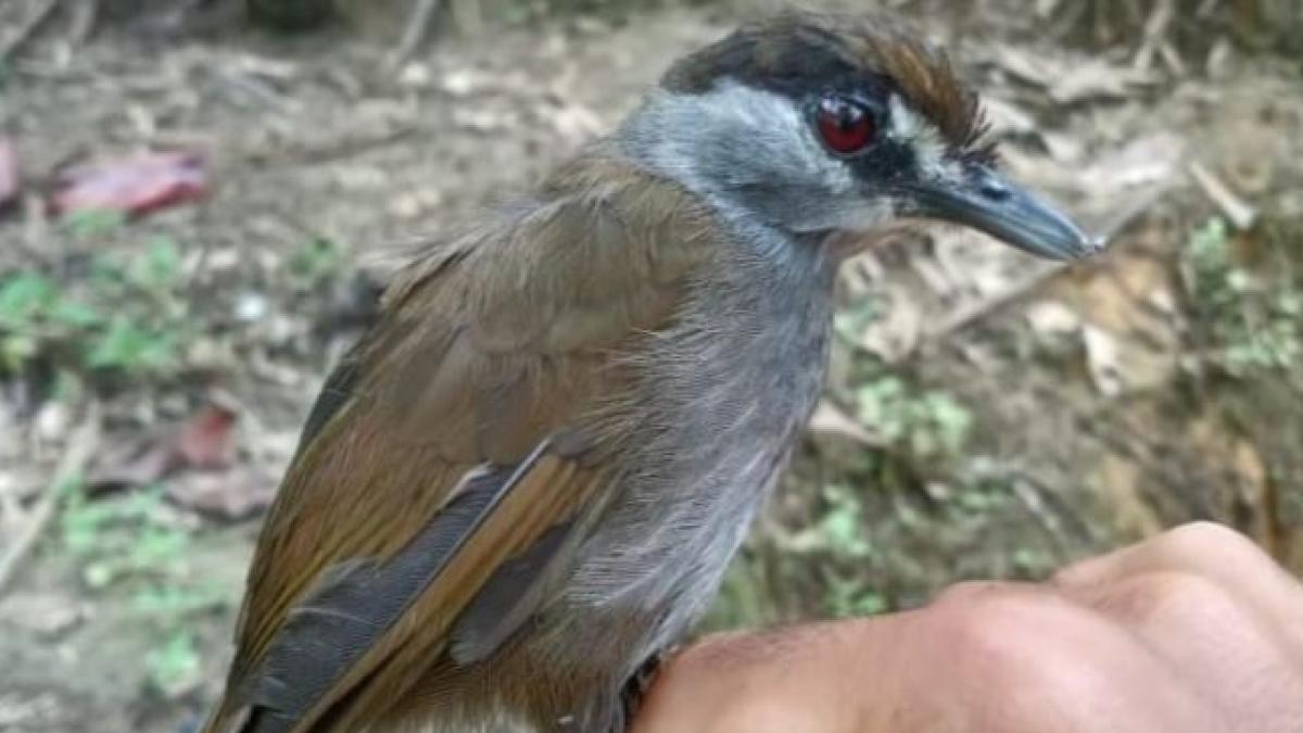 Un ave que se creía extinta hace dos siglos es redescubierta por sorpresa en Borneo