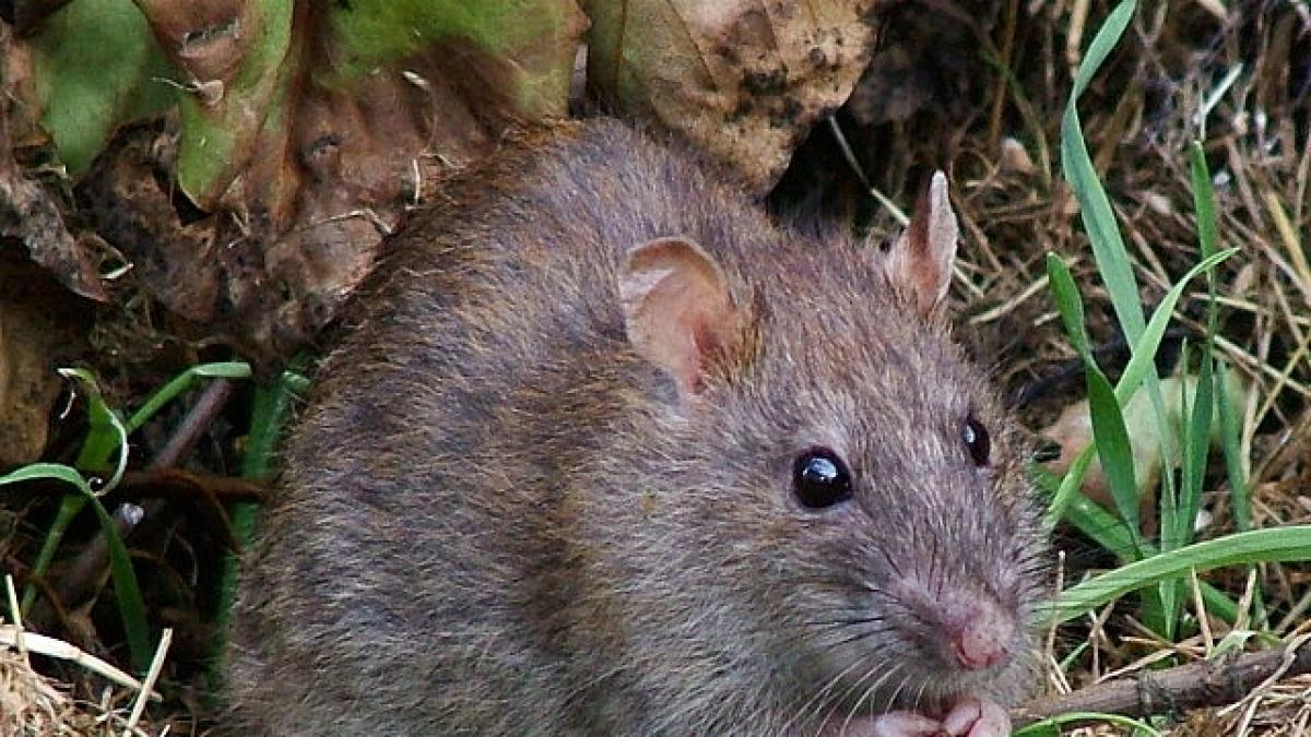 Una rata de grandes dimensiones entra por el váter en el piso de un vecino de la Barceloneta