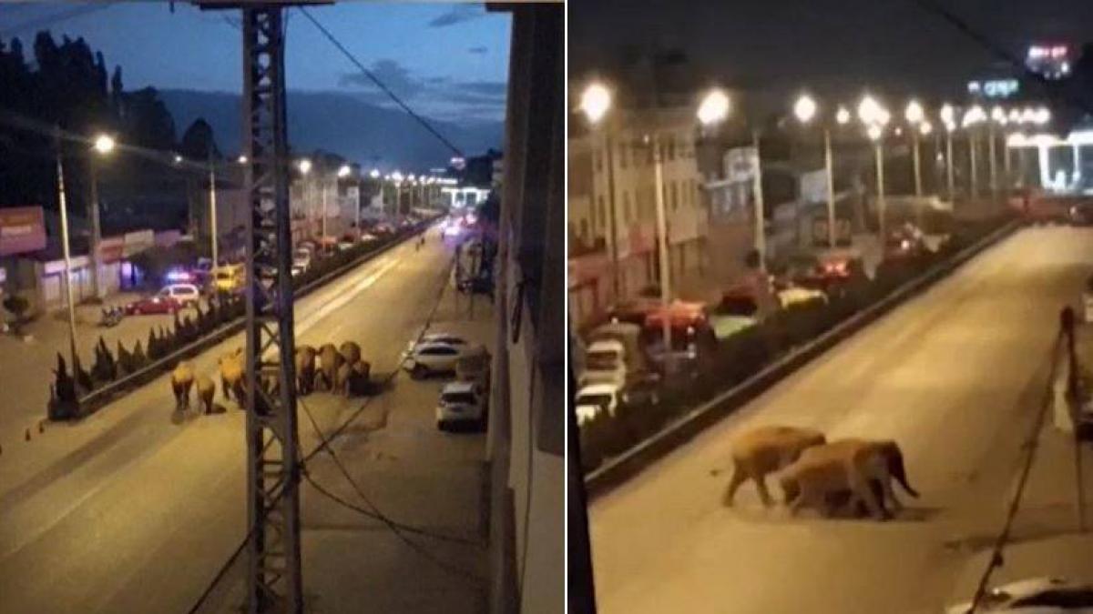 Una manada de elefantes lleva un año vagando por China y desconcierta al  país
