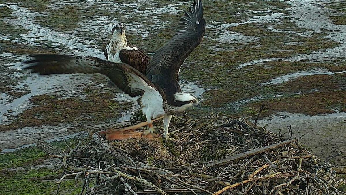 Urdaibai Bird Center ofrece salidas de campo para observar a las águilas pescadoras que están criando en la zona