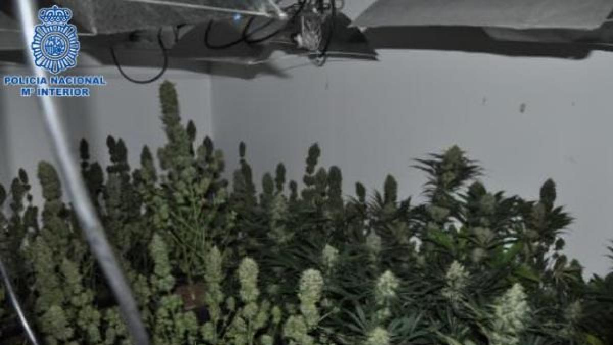 Detenido un clan familiar dedicado al cultivo de marihuana en Puertollano (Ciudad Real)